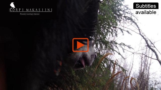 Embedded thumbnail for Jämtlanninpystykorva Riku kohtaa sudet